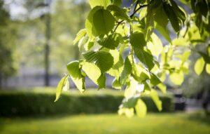 Koivunoksa ja taustalla nurmikoa ja puita