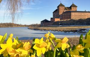 Kuvan taustalla näkyy Hämeen linna ja etualalla on kukkivia narsisseja