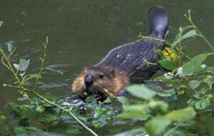 Kanadan majava ui joessa