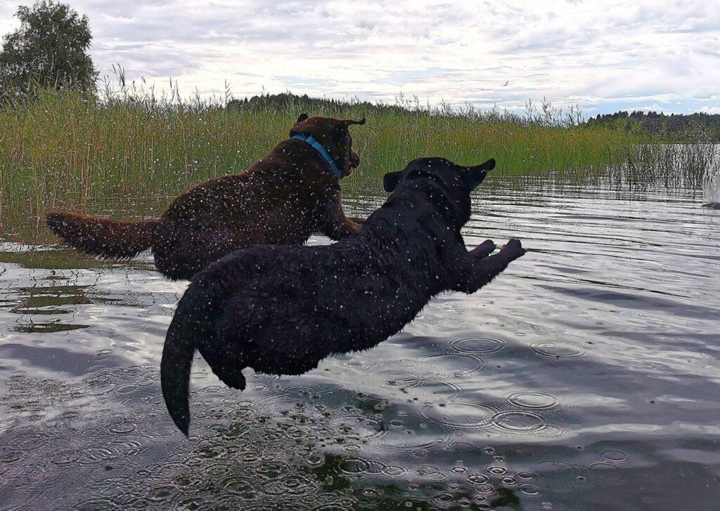 Koirat hyppäämässä veteen
